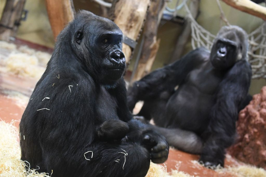 Gorilla mother N'Yaounda (L) holds her one-day young gorilla baby beside gorilla father