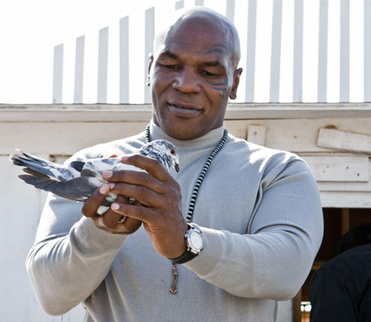 Tyson pigeon