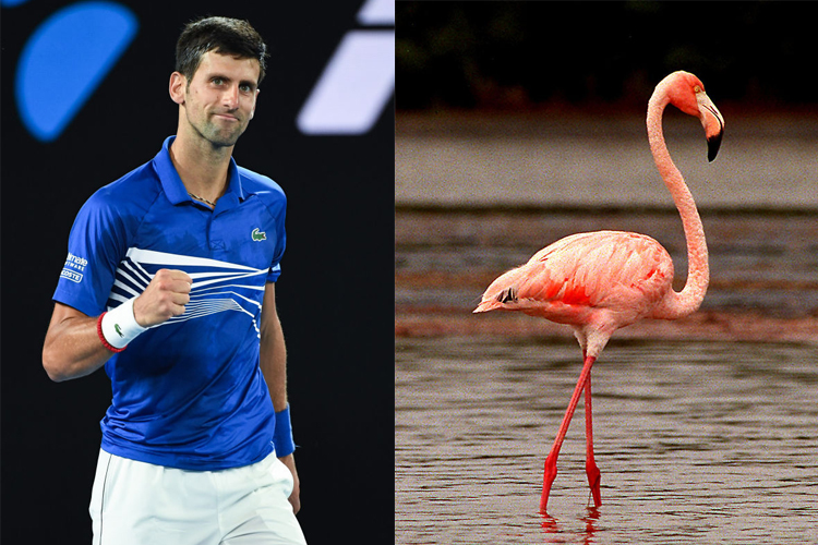 Novak Djokovic Is A Tennis Playing Flamingo
